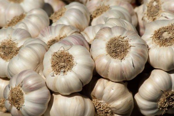 Come e quando seminare e raccogliere l'aglio?