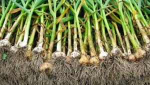 Come e quando raccogliere l 39 aglio for Quando piantare l aglio