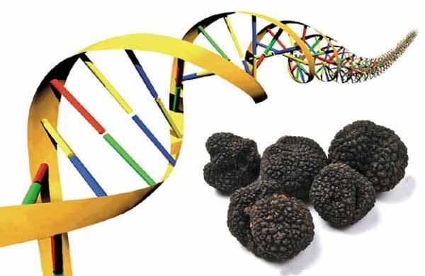 Cos'è la mappatura del genoma del tartufo nero?