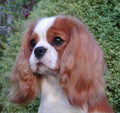 Cani Cavalier King Charles Spaniel