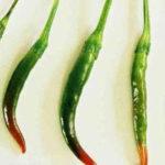 Quali sono le varietà di Capsicum annuum Thai?