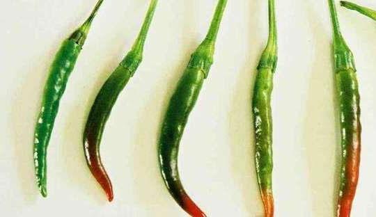 Capsicum annuum Thai