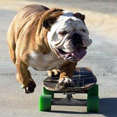 cane sullo skate