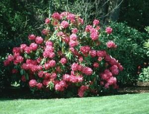 Quali cure per il rododendro?