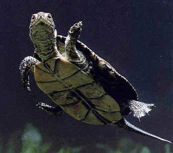 Guida per tenere in casa tartarughe d acqua for Lago per tartarughe